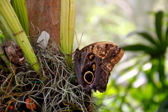 Fairchild Butterfly